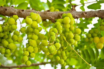 Thai green fruit.