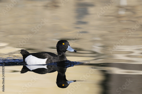 Tufted Duck, Aythya fuligula, Male