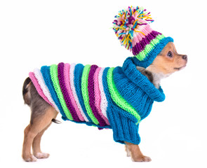 Chihuahua puppy dressed with handmade colorful sweater and hat