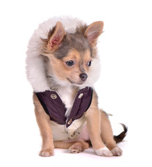 Chihuahua puppy dressed in coat,looking aside,white background