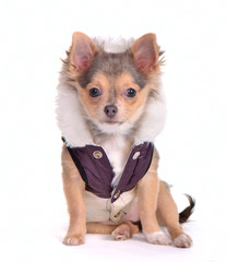 Sitting chihuahua puppy dressed in glamorous overcoat
