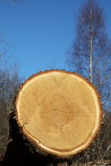 Oak Timber Logging Industry