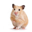 Leinwanddruck Bild - hamster