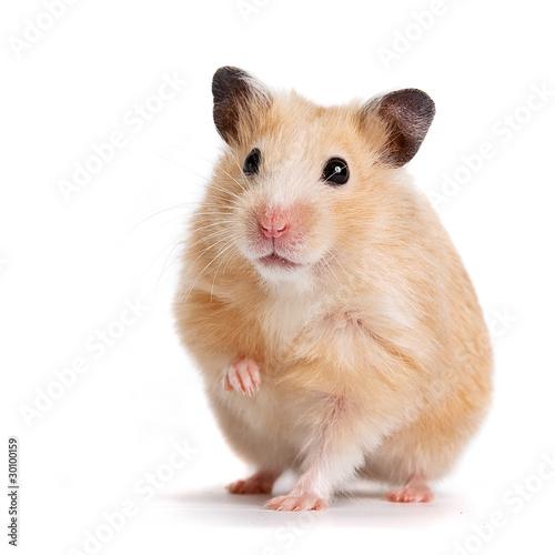 Leinwanddruck Bild hamster