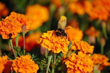 Orange marigolds with a bumblebee collecting pollen close-up