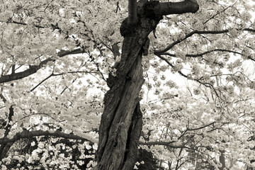 Black White Wizened Twisted Cherry Tree Blossoms