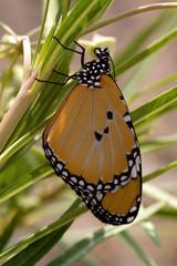 Mariposa tigre.Danaus chrysippus