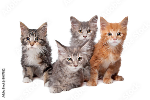Fototapety, obrazy : Four main coon cittens in a row