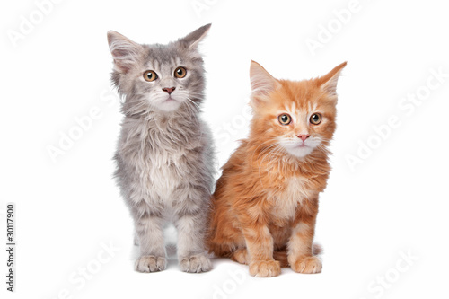 two main coon kittens