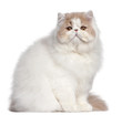 Persian cat, 18 months old, in front of white background
