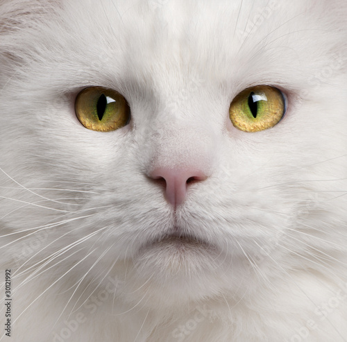 zblizenie-kota-rasy-maine-coon-3-lata