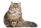 British Longhair cat, 1 year old, in front of white background poster