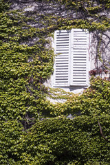 Ivy clad house, white window