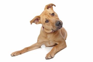 mixed breed puppy, half rottweiler half Pit bull