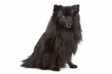 unknown mixed breed longhaired small black dog poster
