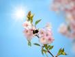 Hummel im Kirschbaum