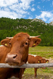 brown cow in alps