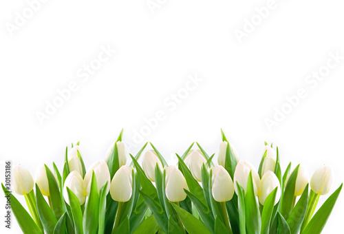 Obraz na Plexi weiße tulpen