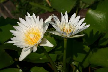 Two White Lotus Blooming