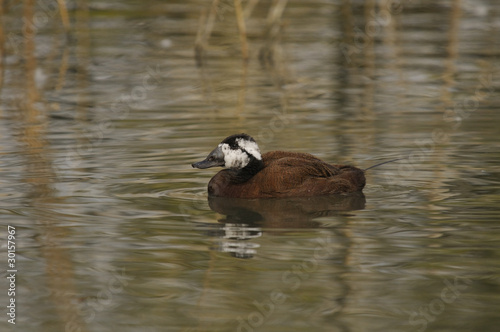 White-headed Duck , Oxyura leucocephala