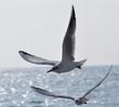 mouettes en vol méditerranée