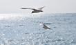mouettes en vol en méditerranée
