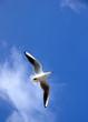vol de mouette en méditerranée fond ciel bleu