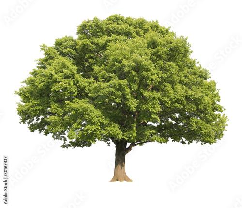 Oak tree isolated - 30167337