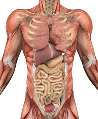 Male Torso with Muscles and Organs - 3D render