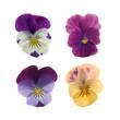 four pansies