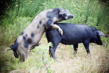 wild boars copulating