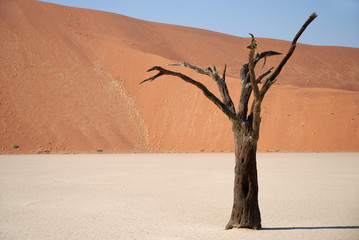 Dead tree in Dedvlei, Namibia
