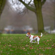 Parson Jack Russell terrier enjoying a run in the park.