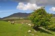 Sheep and rams in Connemara mountains