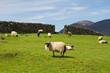 Sheep and rams in Connemara mountains - Ireland