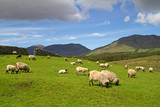 Fototapety Sheep and rams in Connemara mountains - Ireland