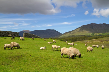 Sheep and rams in Connemara mountains - Ireland