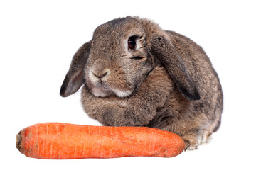 Adorable rabbit with carrot isolated on a white