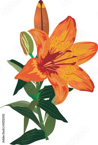 pojedynczy-pomaranczowy-kwiat-lilii-na-bialym-tle