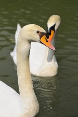 Swan couple in lake