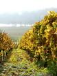 grüner Weinberg im Herbst