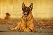 Malinois laying down
