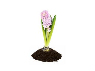 bulb plant in soil