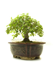 Bonsai Tree in a Ceramic Pot isolated on a white background