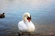 Постер, плакат: Лебедь на озере