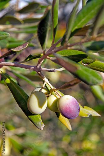 Tuinposter Olijfboom Oliven