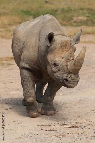 Deurstickers Neushoorn black rhino 9035
