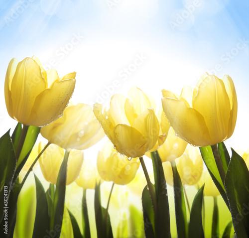 zolte-tulipany-w-sloncu