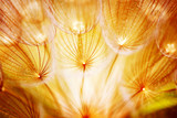 Soft dandelion flower - 30258126