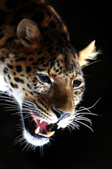 Amazing portrait of Leopard